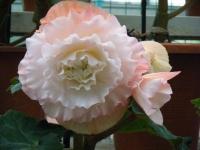 花と泉の公園2017-05-14ベゴニア館208