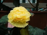 花と泉の公園2017-05-14ベゴニア館207