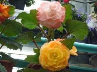 花と泉の公園2017-05-14ベゴニア館217