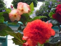 花と泉の公園2017-05-14ベゴニア館216