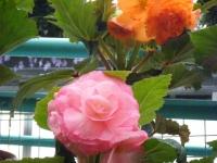 花と泉の公園2017-05-14ベゴニア館215