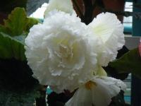 花と泉の公園2017-05-14ベゴニア館214
