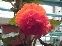 花と泉の公園2017-05-14ベゴニア館213