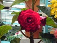 花と泉の公園2017-05-14ベゴニア館212