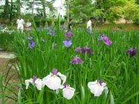 2017-06-24平泉・毛越寺あやめ祭り071