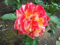 2017-06-11花巻温泉のバラ園113