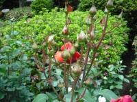 2017-06-11花巻温泉のバラ園111