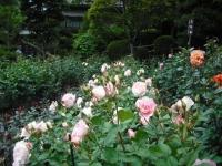 2017-06-11花巻温泉のバラ園109