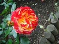 2017-06-11花巻温泉のバラ園119