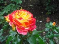 2017-06-11花巻温泉のバラ園118