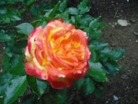 2017-06-11花巻温泉のバラ園115