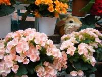 花と泉の公園2017-05-14ベゴニア館222
