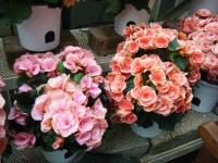 花と泉の公園2017-05-14ベゴニア館220