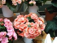 花と泉の公園2017-05-14ベゴニア館221