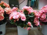 花と泉の公園2017-05-14ベゴニア館218