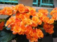 花と泉の公園2017-05-14ベゴニア館229