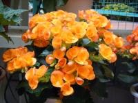 花と泉の公園2017-05-14ベゴニア館227