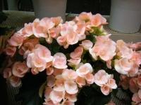 花と泉の公園2017-05-14ベゴニア館226