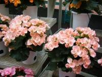 花と泉の公園2017-05-14ベゴニア館224