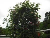 2017-06-11花巻温泉のバラ園122