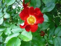 2017-06-11花巻温泉のバラ園128