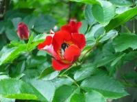 2017-06-11花巻温泉のバラ園131