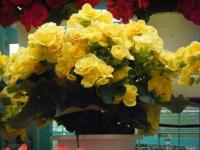 花と泉の公園2017-05-14ベゴニア館235