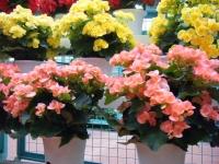 花と泉の公園2017-05-14ベゴニア館233