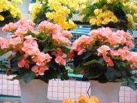 花と泉の公園2017-05-14ベゴニア館232