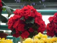 花と泉の公園2017-05-14ベゴニア館241