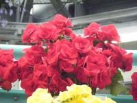 花と泉の公園2017-05-14ベゴニア館240