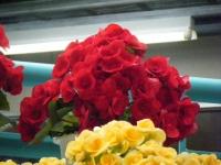 花と泉の公園2017-05-14ベゴニア館239