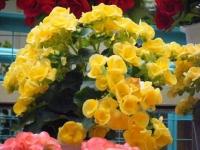 花と泉の公園2017-05-14ベゴニア館237