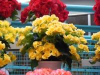 花と泉の公園2017-05-14ベゴニア館238