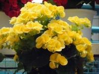花と泉の公園2017-05-14ベゴニア館236