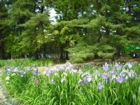 2017-06-24平泉・毛越寺あやめ祭り089