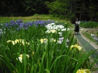 2017-06-24平泉・毛越寺あやめ祭り092