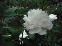 2017-06-11花巻温泉のバラ園138
