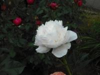 2017-06-11花巻温泉のバラ園136