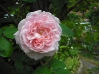 2017-06-11花巻温泉のバラ園135
