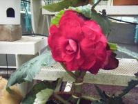 花と泉の公園2017-05-14ベゴニア館246