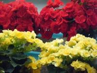 花と泉の公園2017-05-14ベゴニア館245