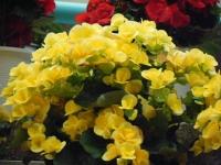 花と泉の公園2017-05-14ベゴニア館243