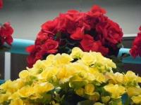花と泉の公園2017-05-14ベゴニア館242