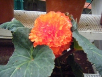 花と泉の公園2017-05-14ベゴニア館252