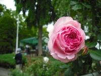 2017-06-11花巻温泉のバラ園149