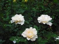2017-06-11花巻温泉のバラ園150