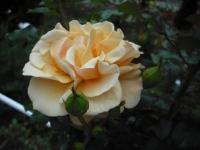 2017-06-11花巻温泉のバラ園153