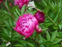 2017-06-11花巻温泉のバラ園152