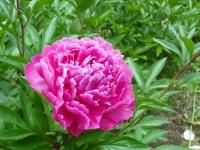 2017-06-11花巻温泉のバラ園151